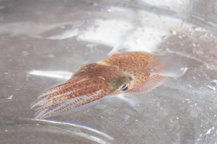 A squid is shown at a lab in Honolulu on June 11, 2021. Dozens of baby squid from Hawaii are in space for study